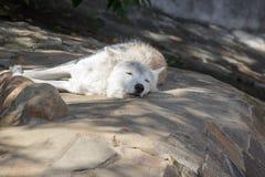 Женский приполюсный волк спасенный от ловушки, навсегда выведенной ламе Стоковое фото RF