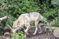 Женский приполюсный волк спасенный от ловушки, навсегда выведенной ламе Стоковые Фото