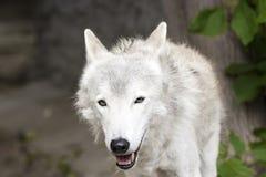 Женский приполюсный волк спасенный от ловушки, навсегда выведенной ламе Стоковая Фотография RF