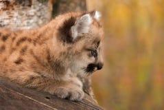 Женский профиль котенка кугуара (concolor пумы) Стоковая Фотография RF