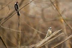 Женский пуховый Woodpecker вызывать Стоковые Фотографии RF