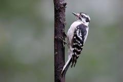 Женский пуховый Woodpecker в лете Стоковое Изображение RF