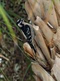 Женский пуховый Woodpecker на пальме капусты Стоковая Фотография