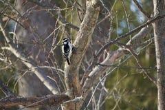 Женский пуховый Woodpecker на подавая станции Стоковые Изображения