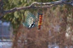 Женский пуховый Woodpecker на подавая станции Стоковое Фото