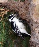Женский пуховый Woodpecker на стволе дерева Стоковая Фотография RF