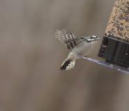 Женский пуховый Woodpecker на фидере птицы Стоковое Изображение RF