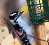 Женский пуховый Woodpecker на Birdfeeder Стоковое Изображение RF