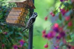Женский пуховый Woodpecker подавая на Suet Стоковое Фото