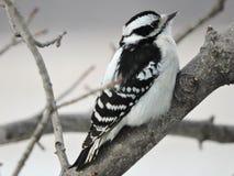Женский пуховый Woodpecker сидя на ветви Стоковая Фотография