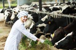 Женский работник в cowhouse outdoors стоковые фотографии rf