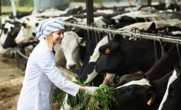 Женский работник в cowhouse outdoors Стоковое Изображение RF