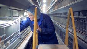 Женский работник aviary принимает желтого цыпленка из клетки и проверяет его акции видеоматериалы