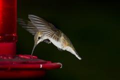 женский рубин hummingbird throated Стоковые Фотографии RF