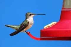 женский рубин hummingbird throated Стоковая Фотография