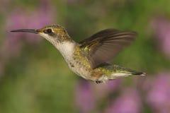 Женский Рубин-throated колибри (colubris Архилоха) Стоковые Фото