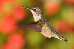 Женский Рубин-throated колибри & x28; colubris& x29 Архилоха; Стоковое Изображение