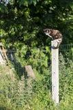 Женский садить на насест бродить кота черепах-раковины Стоковые Фото