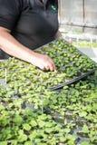 Женский садовник клоня молодые заводы в подносах семени Стоковые Изображения RF