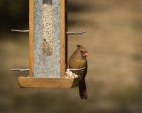 Женский северный кардинал на фидере Стоковая Фотография RF
