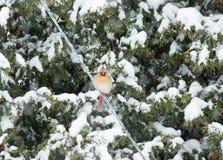 Женский северный кардинал в снеге Стоковые Изображения RF
