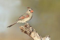 Женский северный кардинал Стоковое фото RF