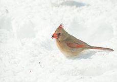 Женский северный Cardinal Стоковое фото RF