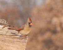 Женский северный Cardinal Стоковые Фото
