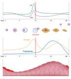 Женский сексуальный цикл Стоковое Изображение RF