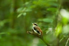 Женский серебр-breasted Broadbill на дереве Стоковые Изображения RF
