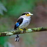 Женский серебр-breasted Broadbill Стоковое фото RF
