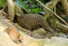 Женский серый павлин-фазан Стоковое фото RF