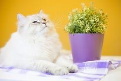 Женский сибирский кот против желтой предпосылки стоковая фотография rf
