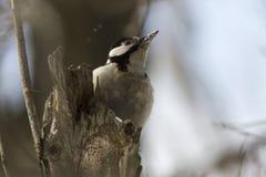Женский сирийский woodpecker сидя на стволе дерева Стоковые Изображения