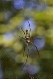 Женский спайдер GoldenOrb-Сети (Nephila Maculata) Стоковая Фотография