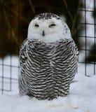 женский сыч снежный Стоковые Фотографии RF
