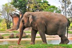 Женский слон идя около воды Стоковые Изображения