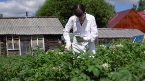 Женский техник лаборатории изучает рост картошек на экспериментальной площадке видеоматериал