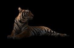 Женский тигр Бенгалии в темноте стоковая фотография rf