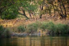 Женский тигр отдыхая в вечере с красивый окружать только перед идти начать территорию отметить на Ranthambore стоковое фото