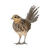 женский фазан пропускает s Стоковые Изображения RF