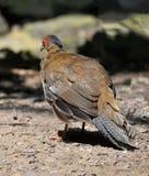 Женский фазан Стоковое фото RF