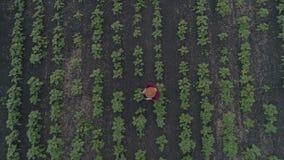 Женский фермер на зеленом поле на заходе солнца проверяет качество солнцецвета используя таблетку Концепция современного видеоматериал