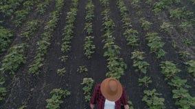 Женский фермер на зеленом поле на заходе солнца проверяет качество солнцецвета используя таблетку Концепция современного акции видеоматериалы