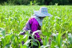 Женский фермер племени Lahu прикладывая удобрение для мозоли, прозрачного кукурузного поля в свете утра Сезон дождей Chiang Rai,  стоковые фото