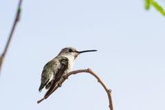 Женский черно--Chinned колибри Стоковые Фотографии RF