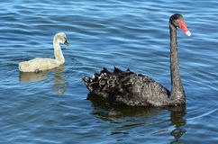 Женский черный лебедь с ее молодым лебедем стоковая фотография rf