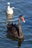Женский черный лебедь с ее молодым лебедем стоковые фото