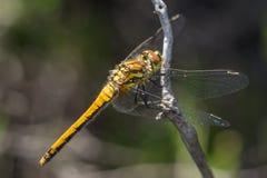 Женский черный dragonfly змеешейки (danae Sympetrum) Стоковая Фотография