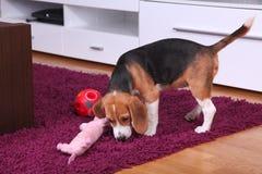 Женский щенок бигля внутри самомоднейшей квартиры Стоковое Фото